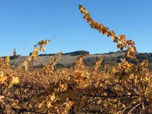 Sonoma Vineyard in Autumn