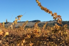 Sonoma Vineyard in Autumn