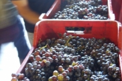 Grape Harvest at Graci