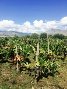 The Nerellos growing together in the Graci vineyards